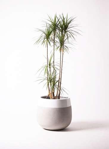 観葉植物 ドラセナ コンシンネ 10号 ファイバーストーン タウルス ミドル 白 付き