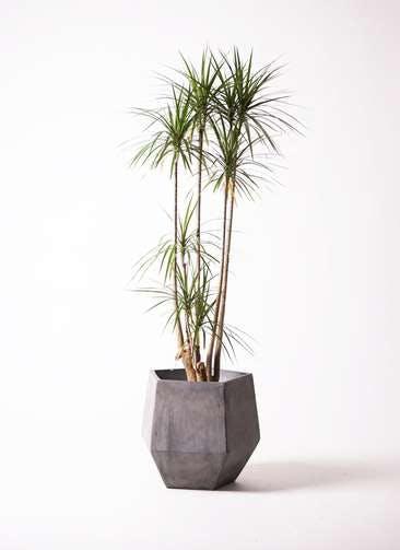 観葉植物 ドラセナ コンシンネ 10号 ファイバークレイGray 付き