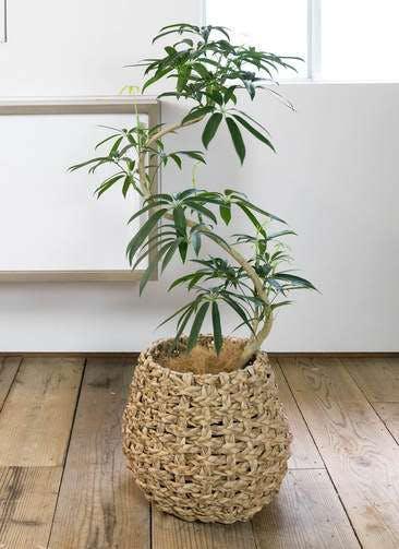 観葉植物 シェフレラ アンガスティフォリア 8号 曲り ラッシュバスケット Natural 付き