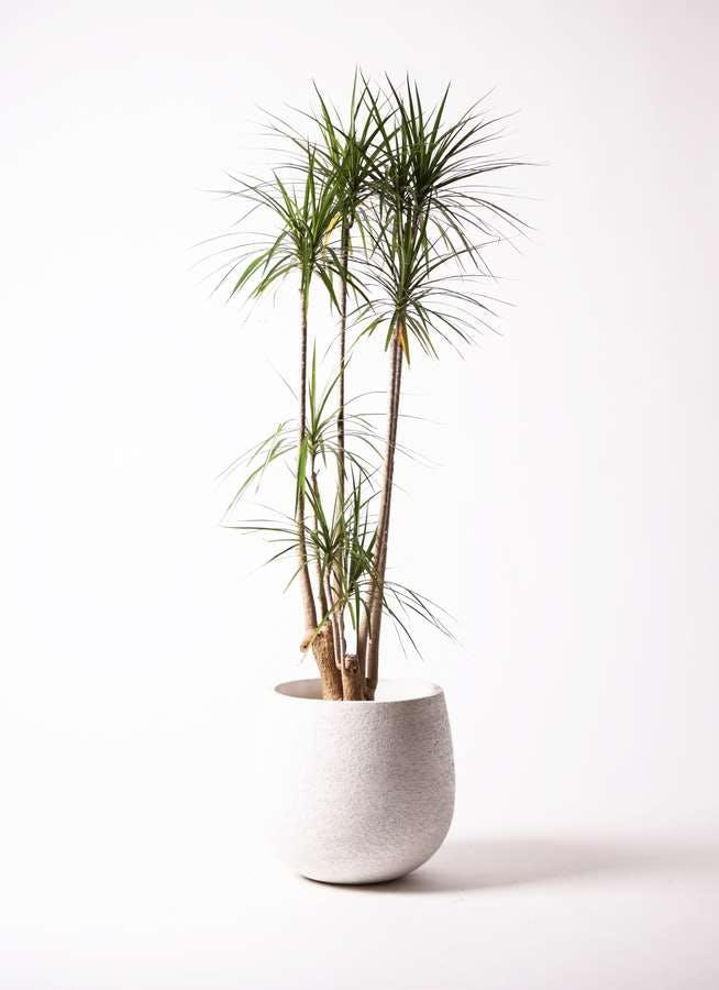 観葉植物 ドラセナ コンシンネ 10号 エコストーンwhite 付き