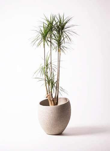 観葉植物 ドラセナ コンシンネ 10号 エコストーンLight Gray 付き
