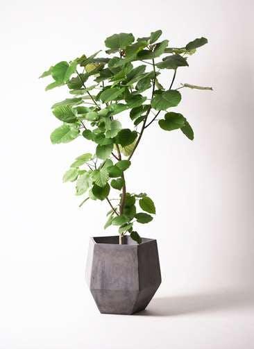 観葉植物 フィカス ウンベラータ 10号 ノーマル ファイバークレイGray 付き
