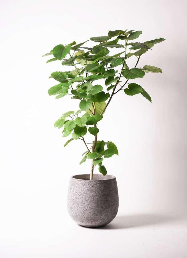 観葉植物 フィカス ウンベラータ 10号 ノーマル エコストーンGray 付き