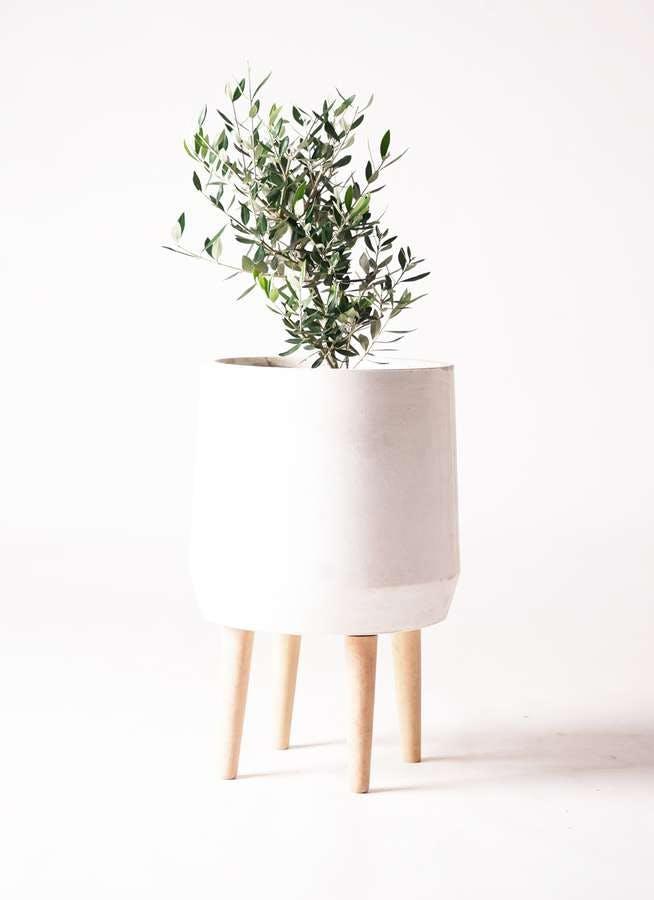 観葉植物 オリーブの木 6号 コロネイキ ファイバークレイ white 付き