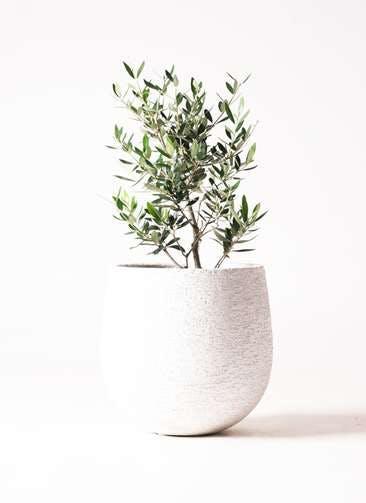 観葉植物 オリーブの木 6号 コロネイキ エコストーンwhite 付き