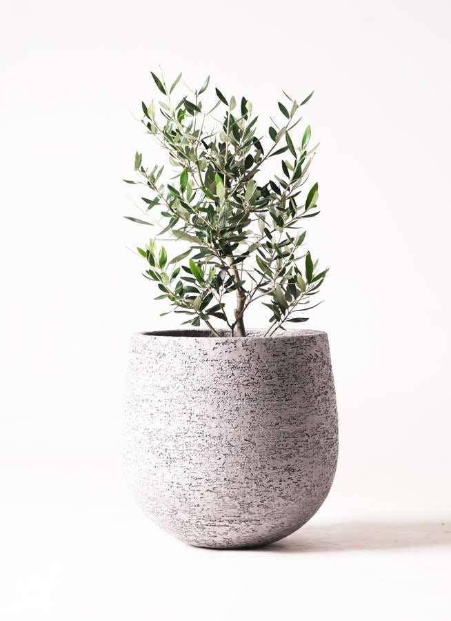 観葉植物 オリーブの木 6号 コロネイキ エコストーンGray 付き