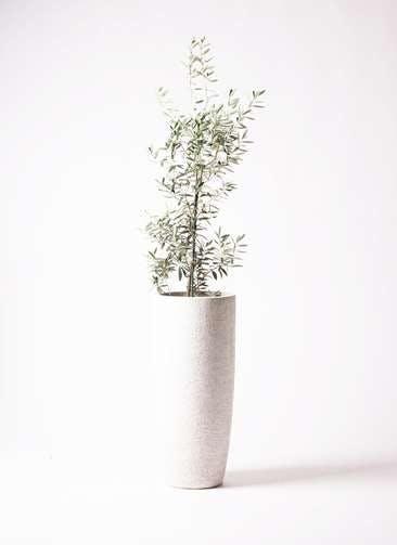 観葉植物 オリーブの木 8号 チプレッシーノ エコストーントールタイプ white 付き