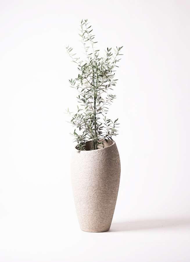 観葉植物 オリーブの木 8号 チプレッシーノ エコストーントールタイプ Light Gray 付き