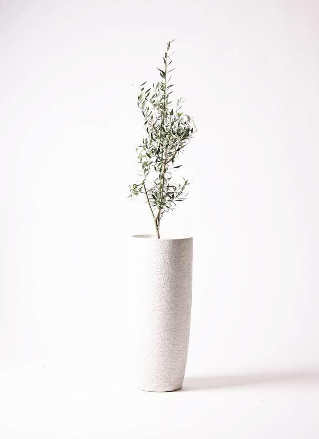 観葉植物 オリーブの木 8号 コロネイキ エコストーントールタイプ white 付き