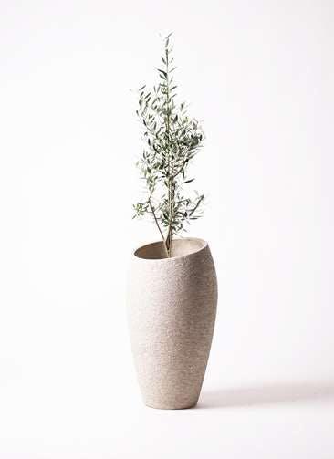 観葉植物 オリーブの木 8号 コロネイキ エコストーントールタイプ Light Gray 付き