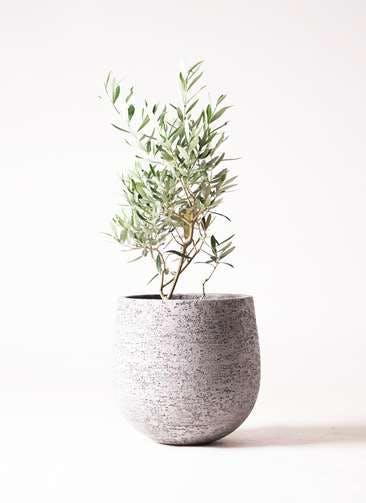 観葉植物 オリーブの木 6号 チプレッシーノ エコストーンGray 付き