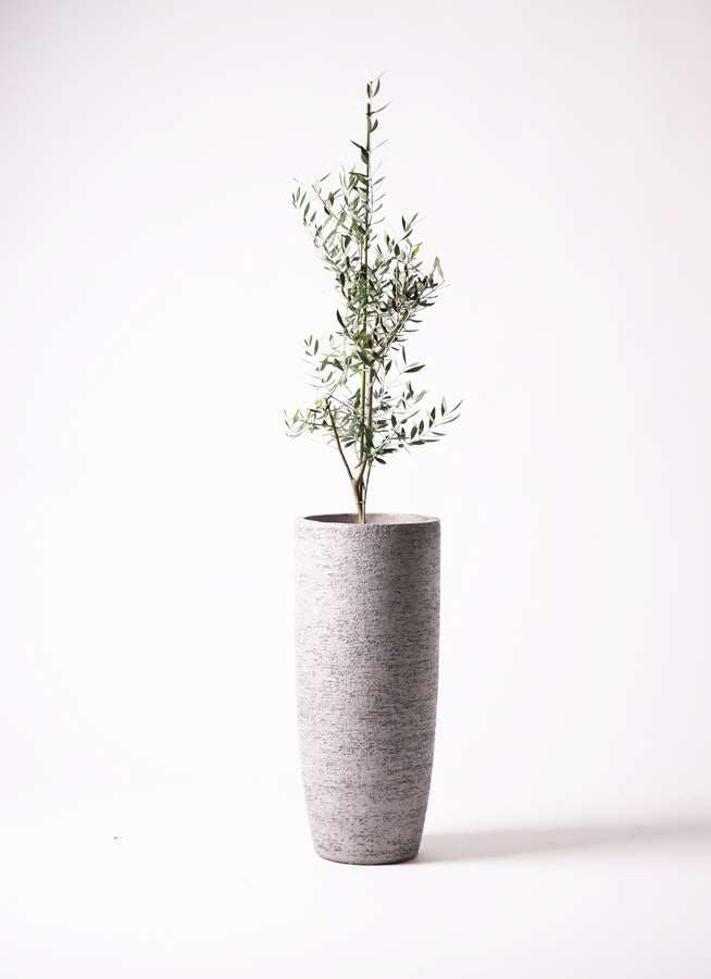 観葉植物 オリーブの木 8号 コロネイキ エコストーントールタイプ Gray 付き