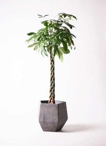 観葉植物 パキラ 10号 ねじり ファイバークレイGray 付き
