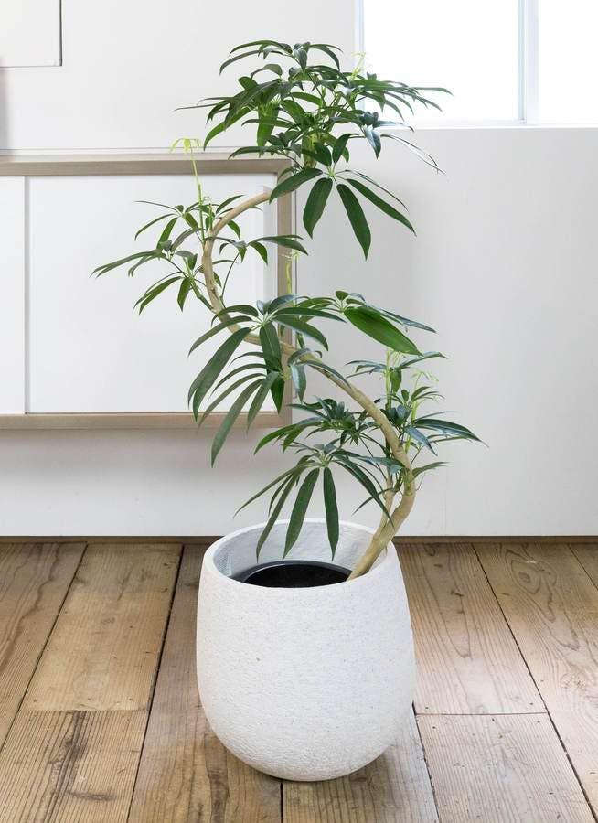 観葉植物 シェフレラ アンガスティフォリア 8号 曲り エコストーンwhite 付き