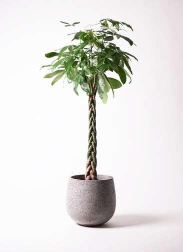 観葉植物 パキラ 10号 ねじり エコストーンGray 付き