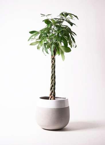 観葉植物 パキラ 10号 ねじり ファイバーストーンタウルス ミドル 白 付き