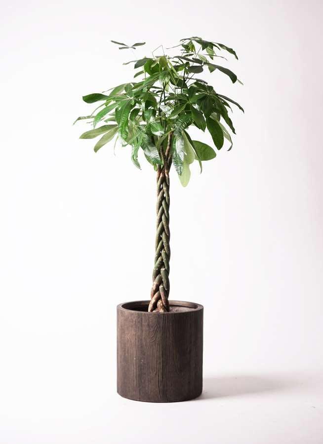 観葉植物 パキラ 10号 ねじり アルファシリンダープランター 付き