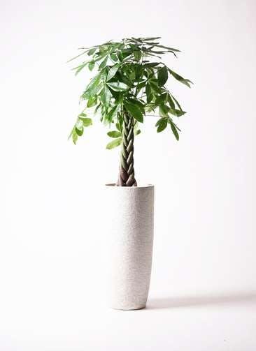 観葉植物 パキラ 8号 ねじり エコストーントールタイプ white 付き