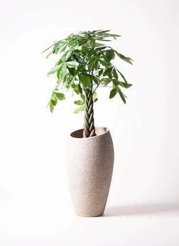 観葉植物 パキラ 8号 ねじり エコストーントールタイプ Light Gray 付き