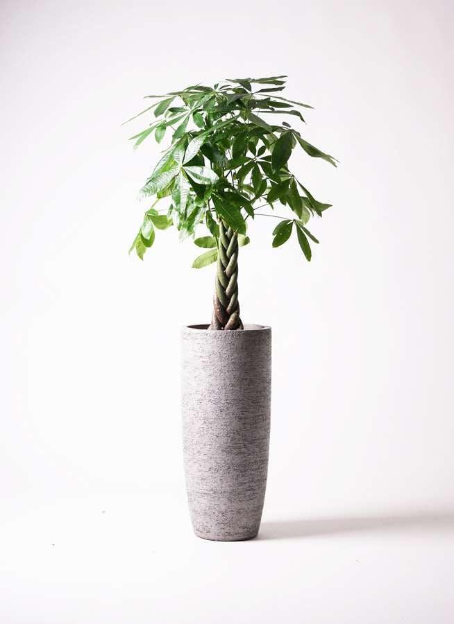 観葉植物 パキラ 8号 ねじり エコストーントールタイプ Gray 付き