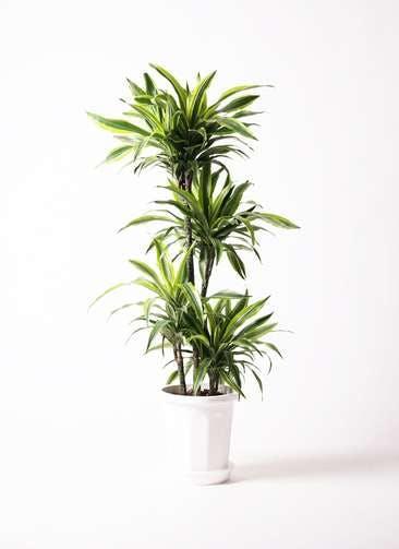 観葉植物 ドラセナ ワーネッキー レモンライム 10号 プラスチック鉢