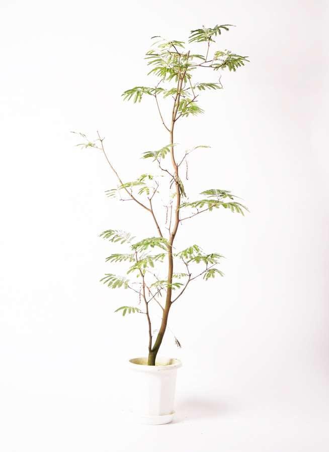 観葉植物 エバーフレッシュ 10号 ボサ造り プラスチック鉢