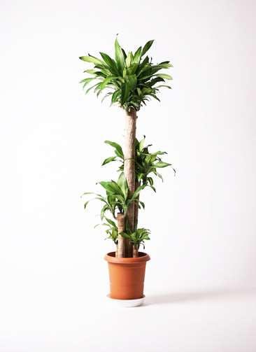 観葉植物 ドラセナ 幸福の木 10号 ノーマル プラスチック鉢