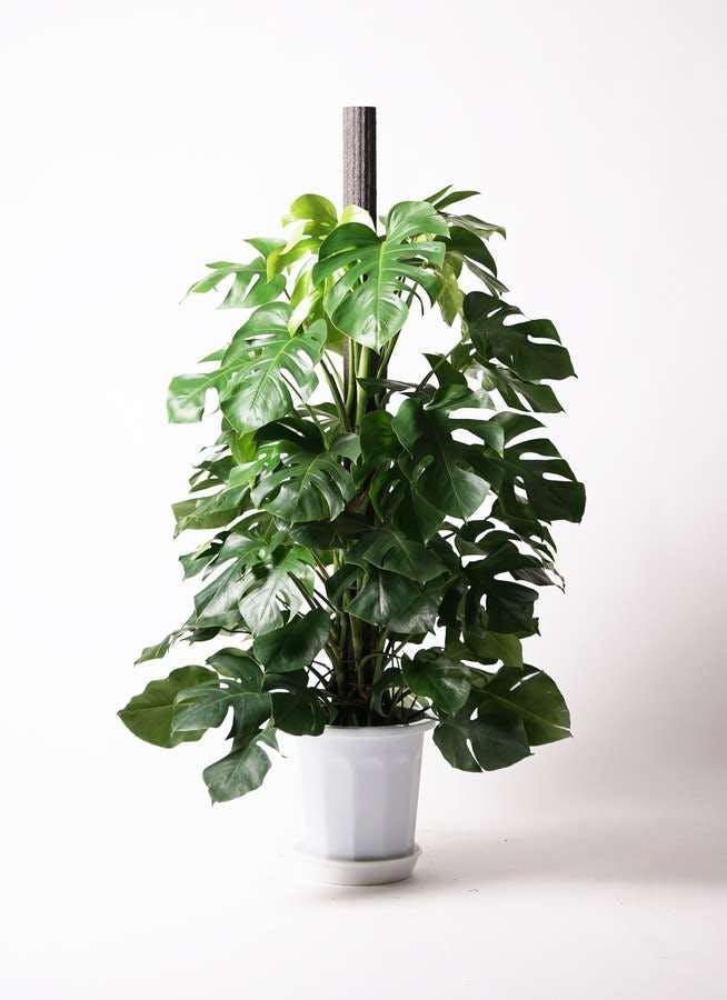 観葉植物 モンステラ 10号 木柱 プラスチック鉢