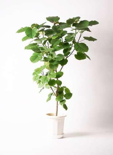 観葉植物 フィカス ウンベラータ 10号 ノーマル プラスチック鉢