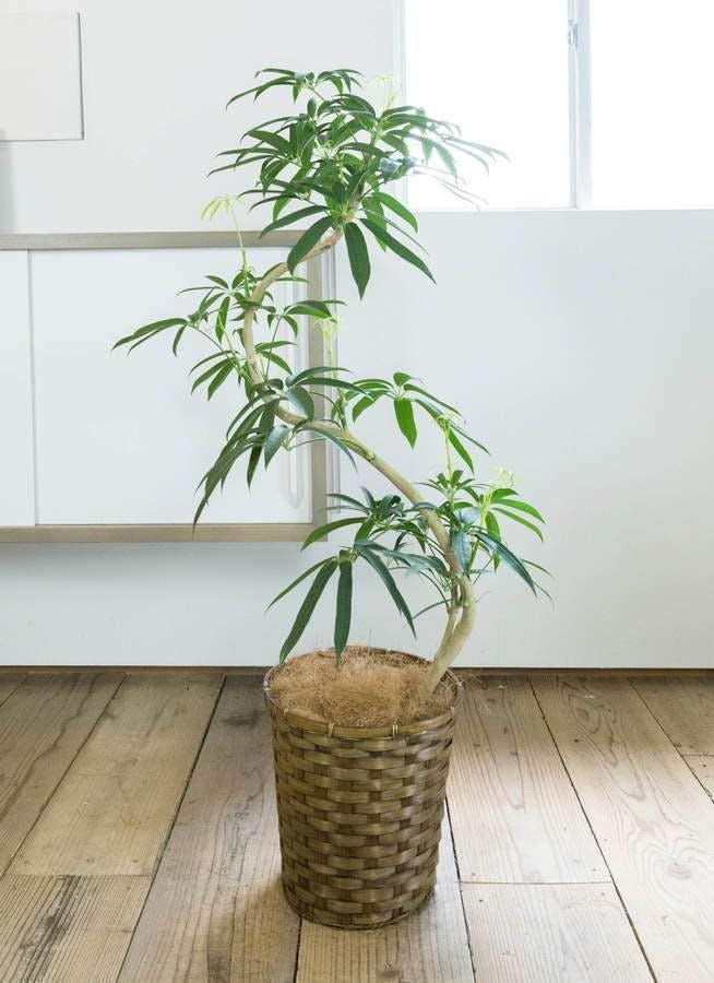 観葉植物 シェフレラ アンガスティフォリア 8号 曲り 竹バスケット付き