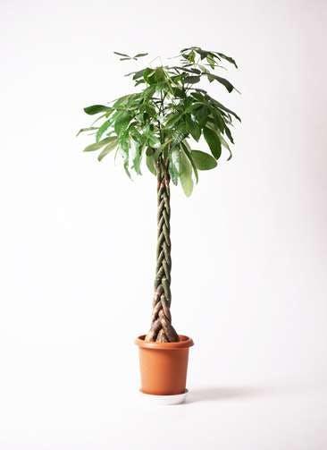 観葉植物 パキラ 10号 ねじり プラスチック鉢