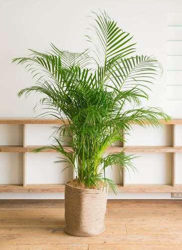 観葉植物 アレカヤシ 10号 リブバスケットNatural 付き