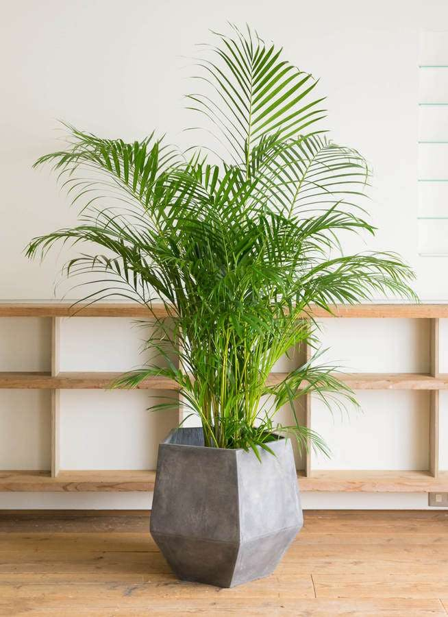 観葉植物 アレカヤシ 10号 ファイバークレイGray 付き