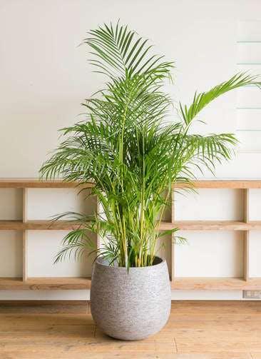 観葉植物 アレカヤシ 10号 エコストーンGray 付き