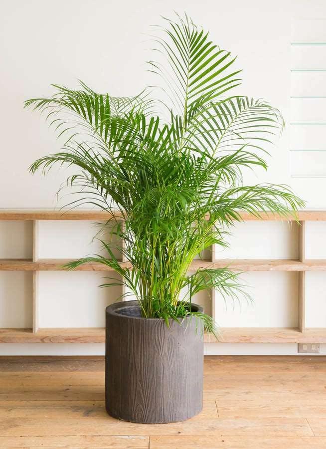 観葉植物 アレカヤシ 10号 アルファシリンダープランター 付き