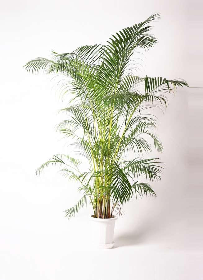 観葉植物 アレカヤシ 10号 プラスチック鉢