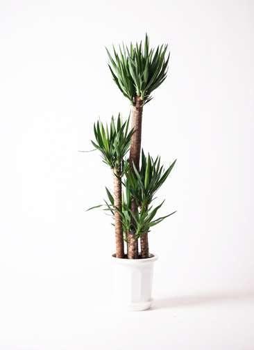 観葉植物 ユッカ 10号 ノーマル プラスチック鉢