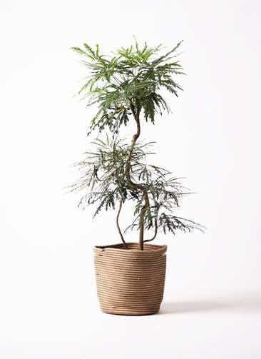 観葉植物 グリーンアラレア 8号 曲り リブバスケットNatural 付き