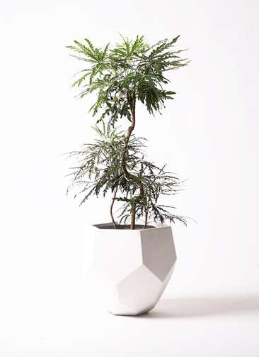 観葉植物 グリーンアラレア 8号 曲り ポリゴヘクサ 白 付き