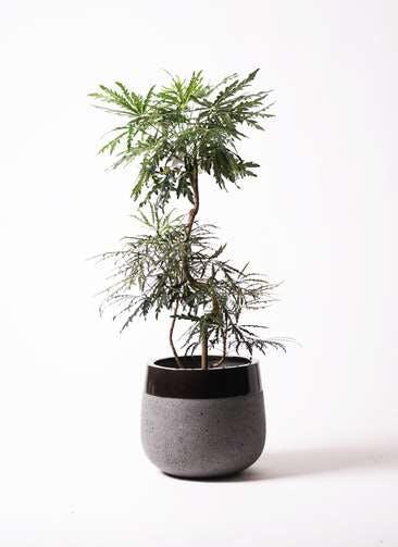 観葉植物 グリーンアラレア 8号 曲り ファイバーストーンタウルス 黒 付き