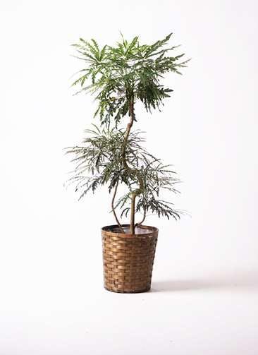 観葉植物 グリーンアラレア 8号 曲り 竹バスケット 付き