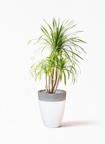 観葉植物 ドラセナ カンボジアーナ 8号 ファイバーストーン カプリ 白 付き