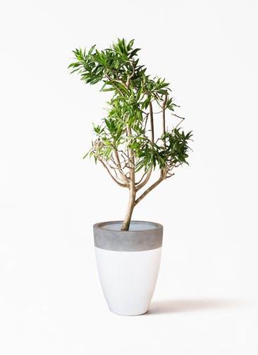 観葉植物 ドラセナ ソング オブ ジャマイカ 8号 ファイバーストーン カプリ 白 付き