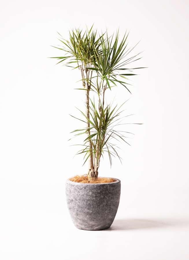観葉植物 ドラセナ コンシンネ 8号 寄せ アビスソニア ミドル 灰 付き