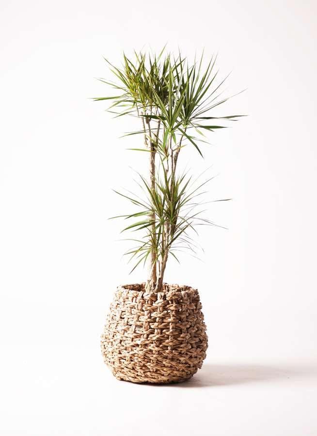 観葉植物 ドラセナ コンシンネ 8号 ラッシュバスケット Natural 付き