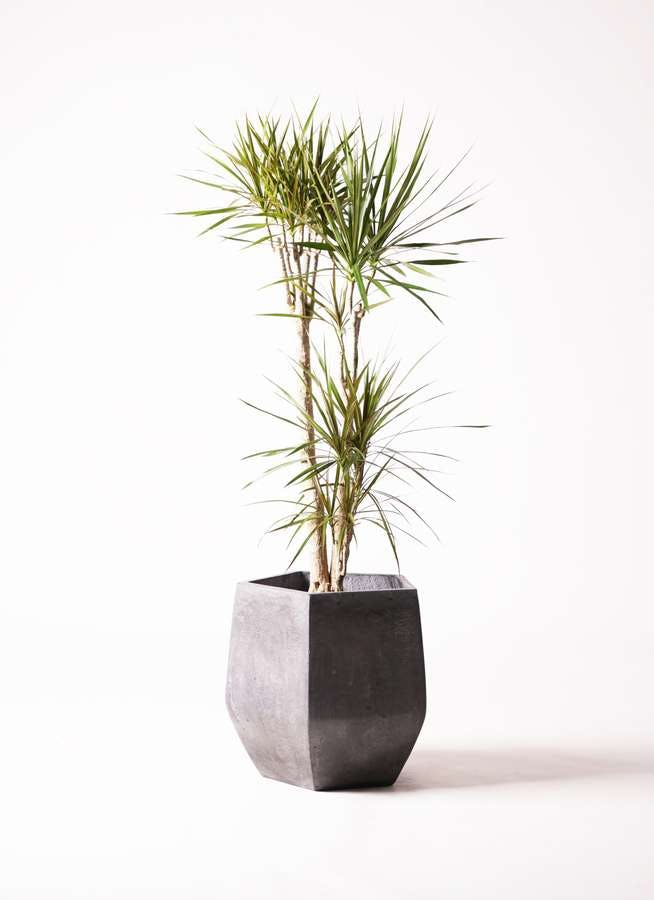 観葉植物 ドラセナ コンシンネ 8号 寄せ ファイバークレイ Gray 付き