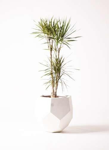 観葉植物 ドラセナ コンシンネ 8号 ポリゴヘクサ 白 付き