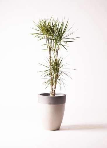 観葉植物 ドラセナ コンシンネ 8号 ファイバーストーン カプリ サンディホワイト 付き