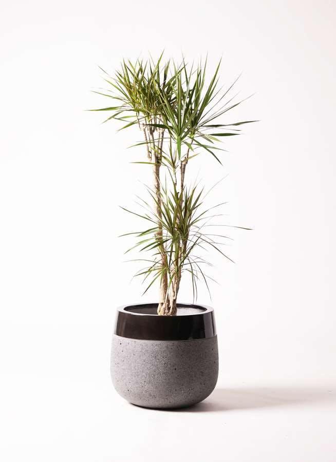 観葉植物 ドラセナ コンシンネ 8号 ファイバーストーン タウルス ミドル 黒 付き