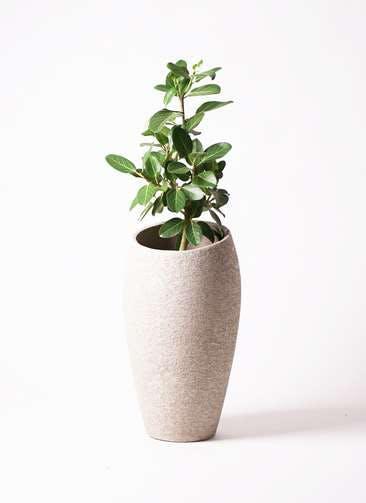 観葉植物 フィカス ベンガレンシス 7号 ストレート エコストーントールタイプ Light Gray 付き